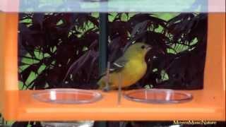 Baltimore & Orchard Orioles Feeding