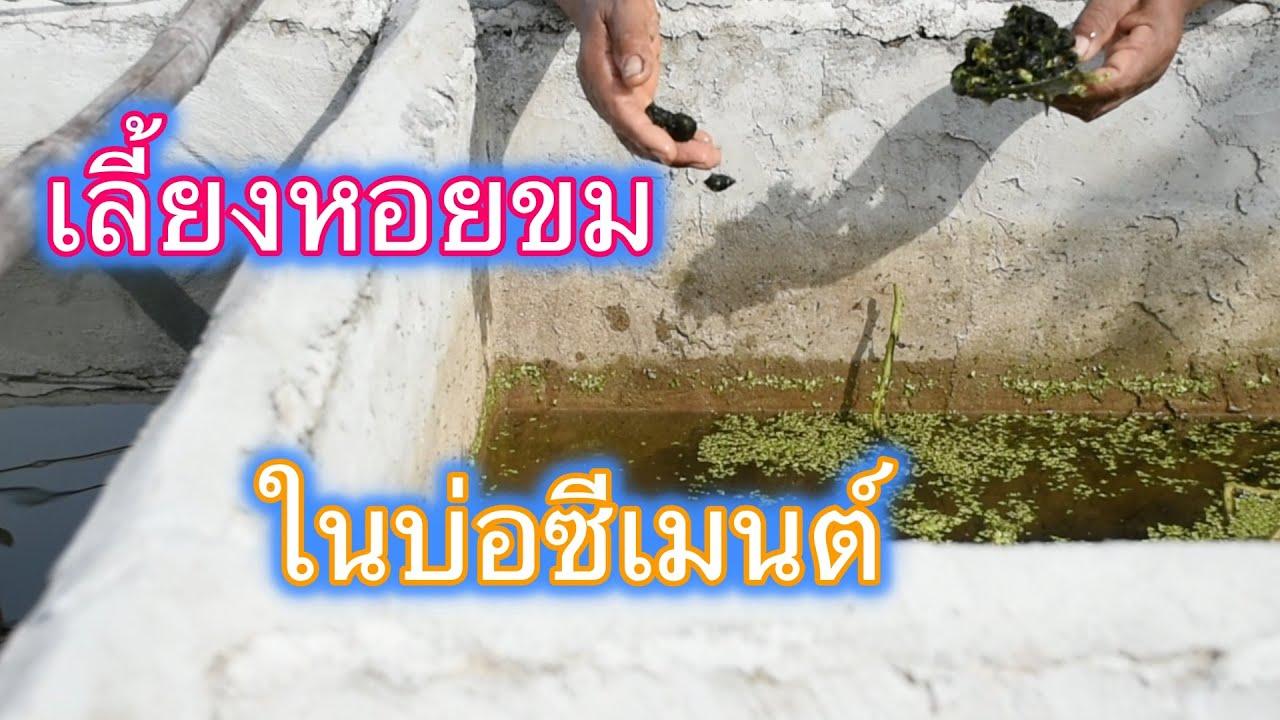 เล ยงหอยขมในบ อซ เมนต ร วมก บเล ยง ปลาท บท มบ อป น