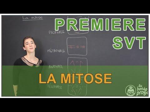 La mitose - SVT - 1ère S - Les Bons Profs