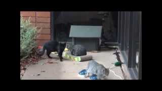 Cats repel intruder to the colony.