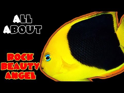 All About The Rock Beauty Angelfish