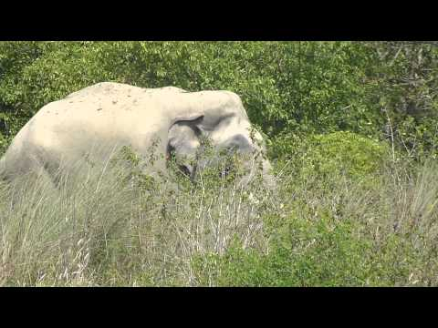 Wild Elephant in Bardia National Park, Nepal...before it chased us!