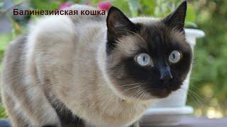 Породы кошек/ ч. 4/ Балинезийская кошка/ Котэ Саратовский/ Все о котах и кошках
