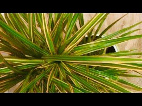 Драцена все секреты/ полив,удобрение,грунт/почему сохнут листья