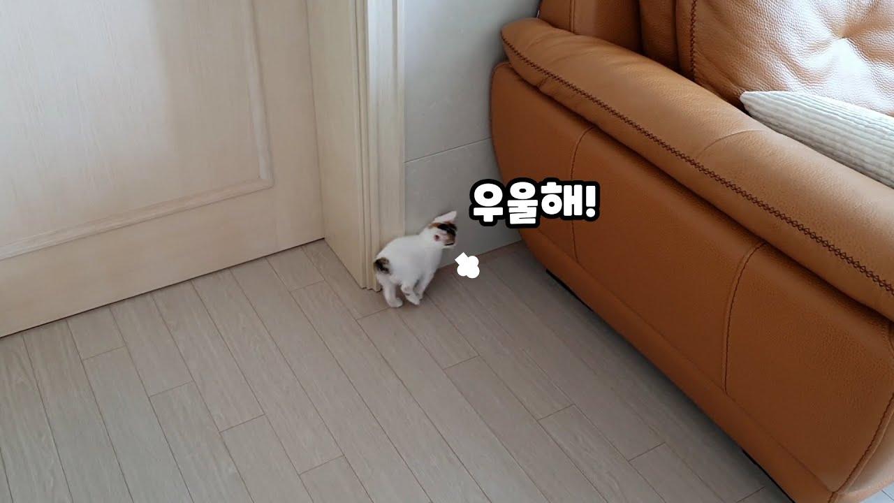 이제 혼자 노는것도 지쳐서 우울한 아기고양이