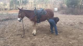 Draft mule. Molly. Must see