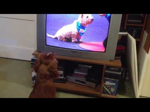 Buddy watches Sports Relief's Top Dog