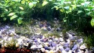 Голландский аквариум с анубиасами и криптокориной  Тетра Конго и Меченосцы