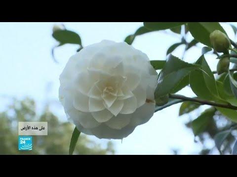 فرنسا..  زهرة الكاميليا البيضاء تساعد على مكافحة الشيخوخة!!  - نشر قبل 33 دقيقة