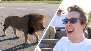 WILD LIONS TOUCHED OUR CAR! | Evan Edinger Travel
