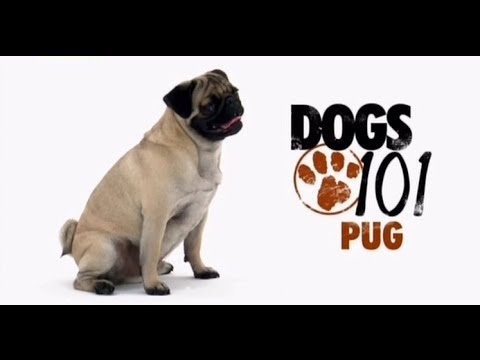 DOGS 101 - Carlino - Pug [ITA]