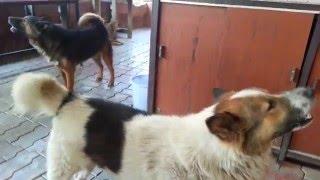 หมาหอน พร้อมกันจี้มากๆ คลิปหมาหอน ตอนไปพักที่วัดเชตวันเมืองสาวัตถี...
