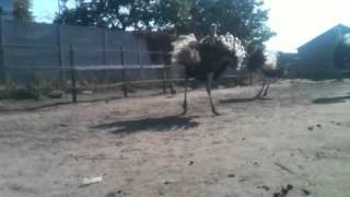Страус нападает на курицу