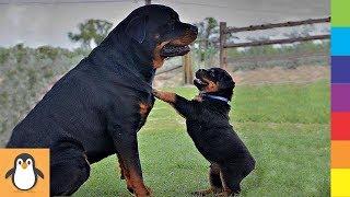Para los amantes de Rottweilers  Videos divertidos y lindos de Rottweilers