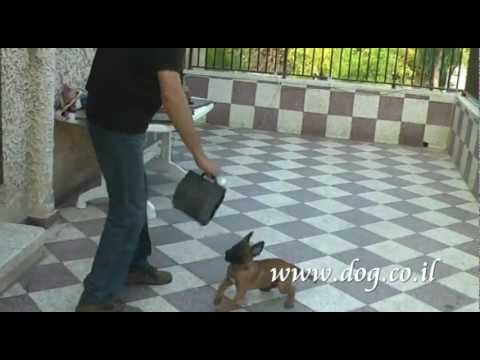 malinois puppy training with Amnon Ben Izhak
