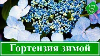 Подготовка гортензии к зиме, обрезка и укрытие гортензии на зиму(, 2015-10-22T19:37:16.000Z)