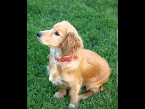 Cocker Spaniel Facts - Facts About Cocker Spaniels