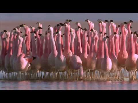 Hilarious Andean flamingo mating dance  NATURE  Andes: The Dragons Back