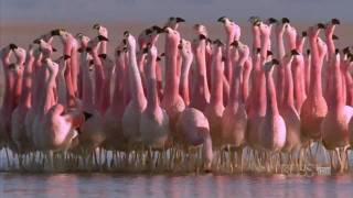 "(Hilarious) Andean flamingo mating dance | NATURE | ""Andes: The Dragon"