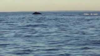 whales off Block Island