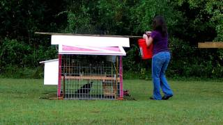 Quiet Back Yard Chicken Coops