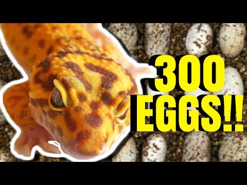 300 LEOPARD GECKO EGGS IN ONE DAY!!! | BRIAN BARCZYK