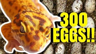 300 LEOPARD GECKO EGGS IN ONE DAY!!! Brian Barczyk