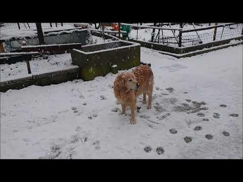 Golden Retriever enjoys the new snow, Alaskan Malamute not so much!