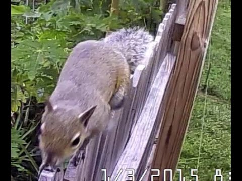 filipino RAT OR SQUIRREL caught on the charlotte county florida wildlife trail camera