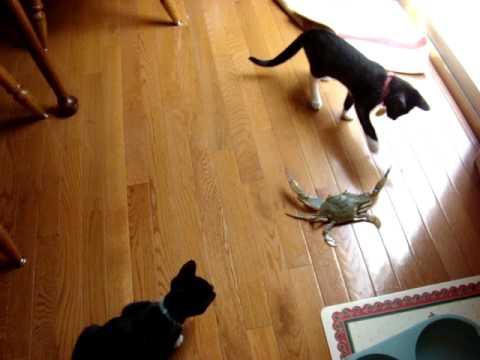 cat vs crab