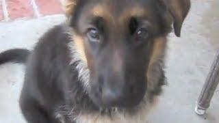 Zeus The Biting German Shepherd Puppy!!!