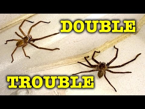 2 Giant Scary Spiders Dangerous Double Trouble