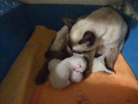 Zanadu Tonkinese newborn kittens