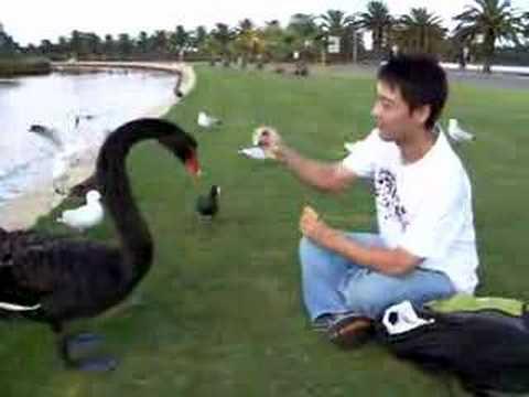 Woon Feeding Black Swans