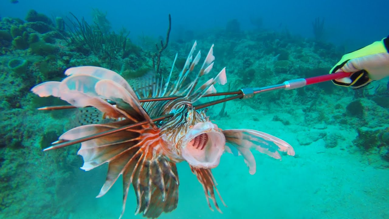 Where to eat lionfish? Restaurant Serving Lionfish When