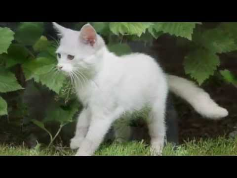 Про белого котёнка