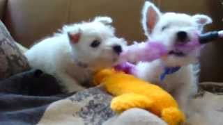 Westie Pup4sale In Az Cammies Westies