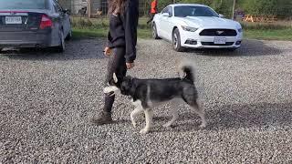 Training a Husky to HEEL