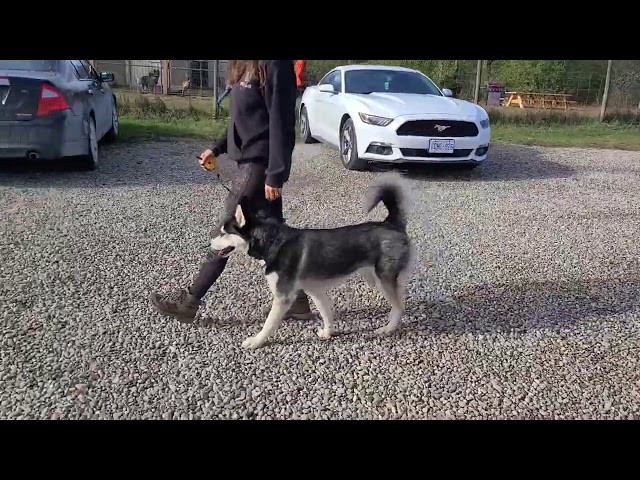Training a Husky to HEEL