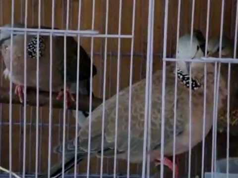 Ghép đẻ cu gáy Bổ 6 (hậu 3)_BigBird