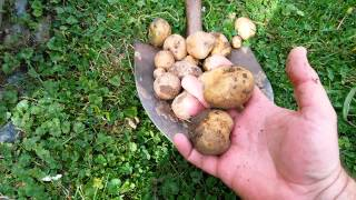Root crop garden harvest and seed saving