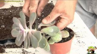 talea di foglia di piante succulente