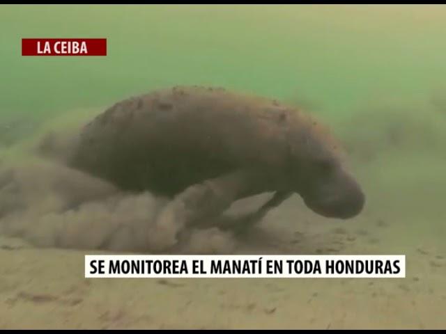 Se monitorea el Manatí en toda Honduras