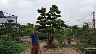 SH.3497.Bất ngờ trước cây Tùng Kim Cương đã cho ông chủ hàng ngàn Kim Cương con.