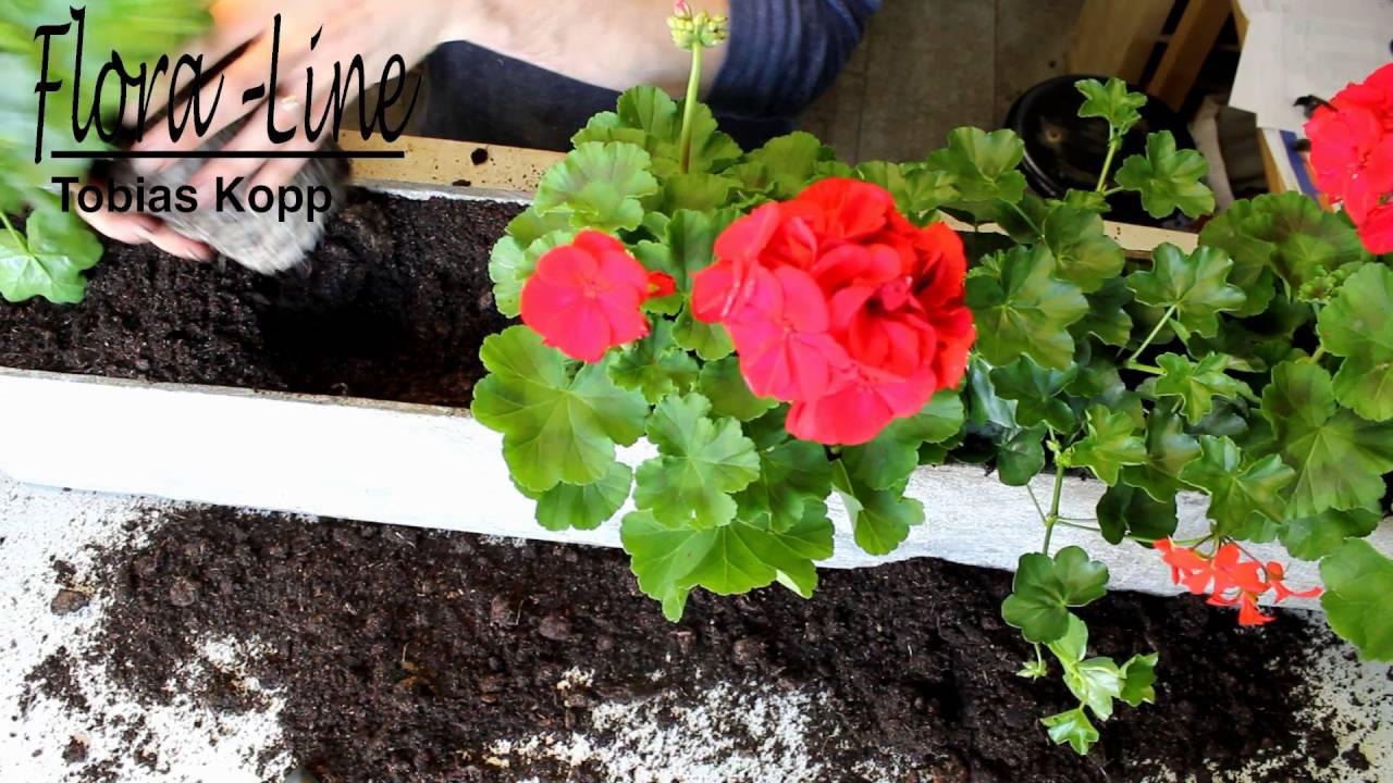 Geranien Balkonkasten Mit Geranien Fachgerecht Bepflanzen Mit
