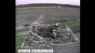 First Egg of the 2013 Blackwater NWR Osprey Cam Season