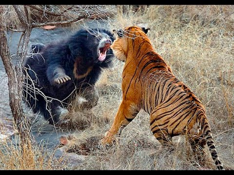 Lion vs Bear Top Real Fights to Death - YouTube