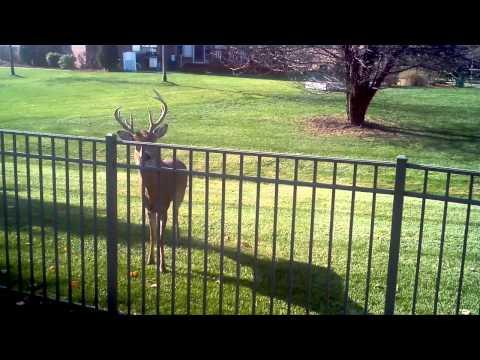 Big Buck 9 Point  In My Back Yard