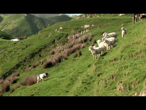 NZ sheep dog at work - just the right pressure - sheep station NZ taster 01