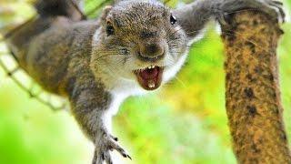 БЕЛКА в ударе! ЦИРКОВОЕ ПРЕДСТАВЛЕНИЕ лучше клоунов!(Белка два часа скакала и прыгала вокруг дерева у нашего дома - успел записать фрагмент ее ЦИРКОВОГО ПРЕДСТА..., 2015-07-29T02:01:37.000Z)